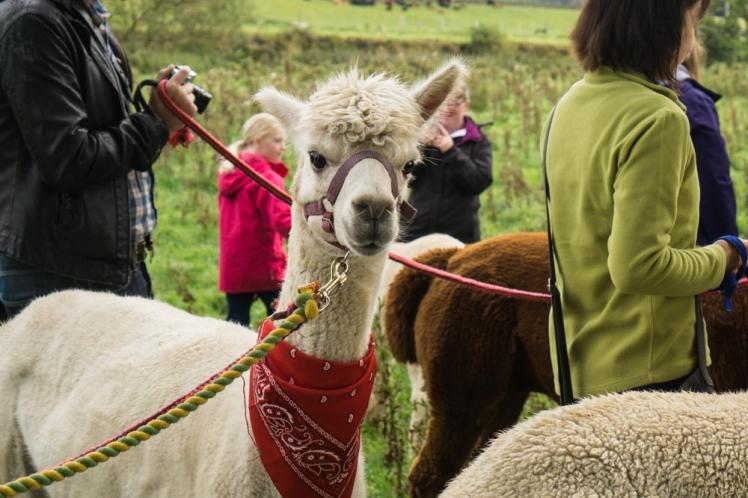 Velvet Hall alpacas near Edinburgh (credit and copyright: Velvet Hall Alpacas)