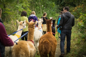 Trekking with alpacas near Edinburgh (credit and copyright: Velvet Hall Alpacas)