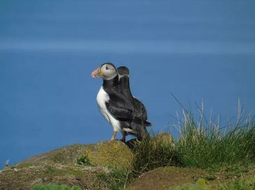 Puffins at North Berwick (credit and copyright: Andrew Palmer)